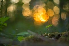 Plantas e musgo pequenos da floresta no por do sol com fundo abstrato bonito com bokeh Imagem macro com profundidade de campo peq imagens de stock