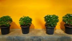Plantas em pasta pequenas no fundo amarelo da parede Fotos de Stock Royalty Free