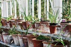Plantas em potenciômetros na estufa Imagens de Stock