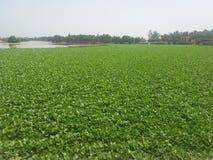 Plantas em rios Imagens de Stock Royalty Free