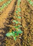 Plantas em seguido recentemente plantadas da couve Imagem de Stock