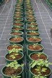 Plantas em uns potenciômetros Foto de Stock Royalty Free