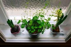 Plantas em uns potenciômetros Fotos de Stock Royalty Free