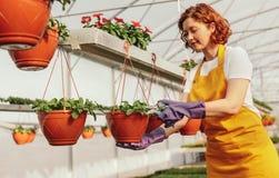 Plantas en conserva de la poda femenina del jardinero en invernadero fotos de archivo libres de regalías