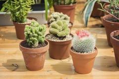 Plantas en conserva del cactus Foto de archivo
