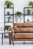 Plantas en estantes en el interior moderno blanco de la sala de estar con la tabla al lado del sofá de cuero Foto verdadera fotografía de archivo libre de regalías
