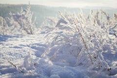 Plantas en helada y nieve en la puesta del sol Foto de archivo