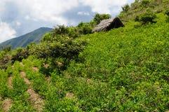 Plantas en las montañas de los Andes, Bolivia de la coca Imágenes de archivo libres de regalías