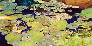 Plantas en las regiones subtropicales en el agua Fotografía de archivo