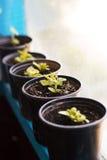 Plantas en potes en ventana Mercado para las plantas de la venta Almácigos crecientes en potes negros Imagen de archivo libre de regalías