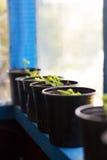 Plantas en potes en ventana Mercado para las plantas de la venta Almácigos crecientes en potes negros Foto de archivo