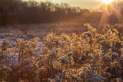 Plantas en un campo en el brillo de oro adquirido una mañana fría del invierno Fotografía de archivo libre de regalías