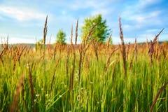 Plantas en un prado verde del verano con el cielo y árboles en el fondo fotografía de archivo