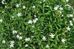 Plantas en verde de la flor blanca de jard?n tan fotos de archivo