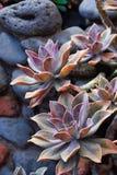 Plantas exóticas da planta carnuda de Maui Fotografia de Stock Royalty Free