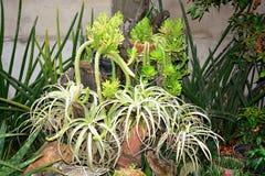 Plantas exóticas indicadas nos locais do Sr. Residência do ` s de Victoria do dela de Alexander em Matanao, Davao del Sur, Filipi imagens de stock