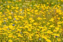 Plantas florecientes amarillas de la maravilla de maíz del cierre Fotos de archivo libres de regalías