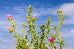 Plantas florecientes del cardo del grupo Fotos de archivo
