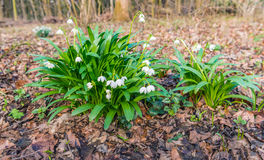 Plantas florecientes del copo de nieve de la primavera del blanco entre el árbol caido marrón imagen de archivo