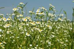 Plantas florecientes del fleabane en prado Foto de archivo libre de regalías