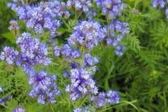 Plantas florecientes del phacelia en julio Fotos de archivo libres de regalías