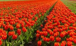 Plantas florecientes del tulipán del rojo en un campo holandés Fotografía de archivo libre de regalías