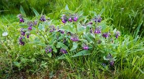 Plantas florecientes púrpuras de la consuelda común del cierre Foto de archivo libre de regalías