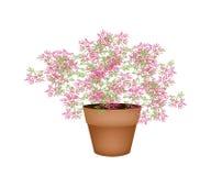 Plantas florecientes rosadas preciosas en maceta Fotos de archivo