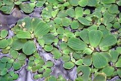 Plantas flotantes en una charca imagen de archivo libre de regalías