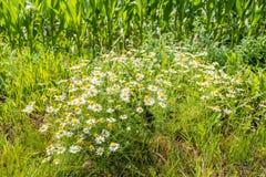 Plantas fragantes florecientes y picantes enormes de la manzanilla salvaje en la e Fotografía de archivo libre de regalías