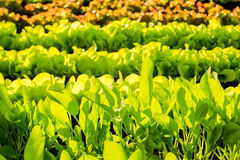 Plantas frescas da alface no campo, pronto para ser colhido Fotografia de Stock