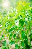 Plantas frescas da manjericão, especiarias fotografia de stock