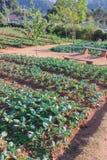 Plantas frescas de la col rizada en un campo Imágenes de archivo libres de regalías