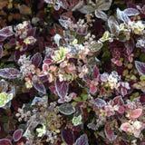 Plantas geadas Fotografia de Stock