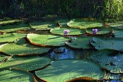 Plantas grandes de los regias de Victoria sobre un lago en la selva del Amazonas, Perú fotografía de archivo