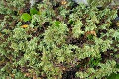 Plantas grossas, luxúrias, verdes Foto de Stock Royalty Free
