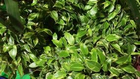 Plantas hermosas de la casa de los ficus con las hojas pequeñas y grandes verdes en los potes, 4k metrajes