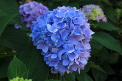 Plantas hermosas de la hortensia en jardín del patio trasero fotos de archivo