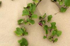 Plantas hermosas de la verde-lila en un arena de mar Imagen de archivo libre de regalías