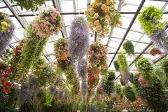 Plantas hermosas del hangin bajo invernadero Foto de archivo libre de regalías