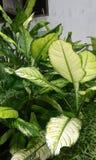 Plantas hermosas srilanquesas Imagenes de archivo