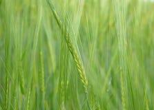 Plantas inmaduras del cereal Fotos de archivo