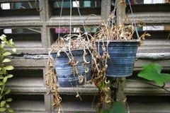 plantas inoperantes em potenciômetros na parede Fotos de Stock Royalty Free