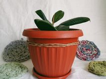 Plantas internas do ficus reconfortantes e alegria Imagens de Stock Royalty Free