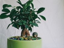 Plantas internas do ficus reconfortantes e alegria Fotografia de Stock