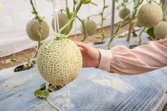 Plantas japonesas verdes frescas de los melones del cantalupo del control de la mano de la mujer imagen de archivo