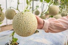 Plantas japonesas verdes frescas de los melones del cantalupo del control de la mano que crecen en jardín orgánico del invernader imágenes de archivo libres de regalías