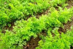 Plantas jovenes de la zanahoria fotos de archivo