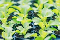 Plantas jovenes de Rucola, cohetes jovenes, brotes de Rucola, almácigos de la primavera Vehículo sano fotografía de archivo