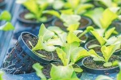 Plantas jovenes de Rucola, cohetes jovenes, brotes de Rucola, almácigos de la primavera Vehículo sano imágenes de archivo libres de regalías